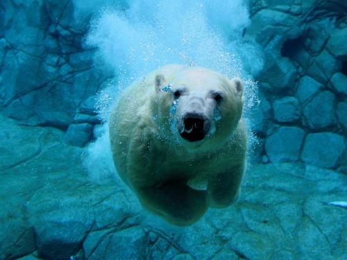 oso_polar_nadando